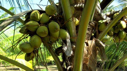 Owoce w Indii