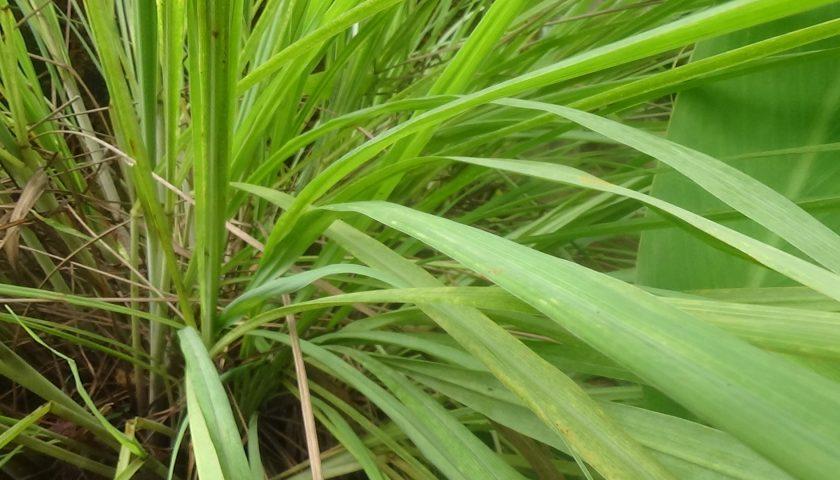 Lemon grass: bólom gardła i komarom – Nie!