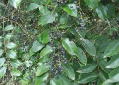 Vidanga, roślina nazywana powszechnie pieprzem czarnym fałszywym powszechnie rosnąca w całych Indiach