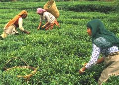 Ilam tea plantation