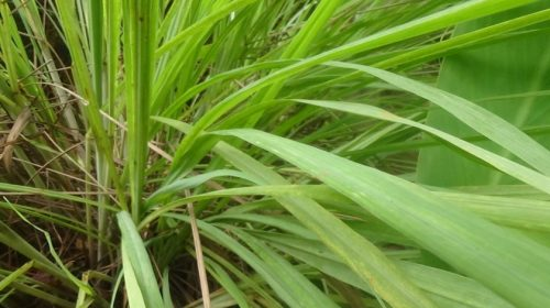 Lemon grass: to mosquito and cold say 'No!'