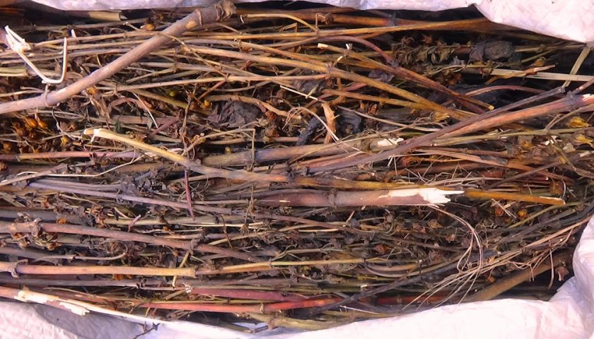 Chiraito: Nepalese remedy for most ailments