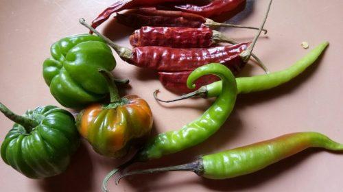 Chili Pepper in India