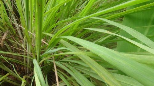 Lemongrass: to mosquito and cold say 'No!'